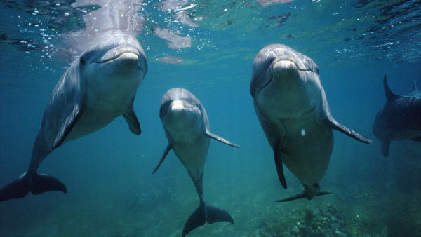 Dolphins Learn Each-Others 'Names' and Form Teams