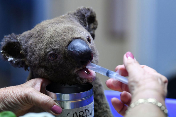 The World Rallies to Help Koalas