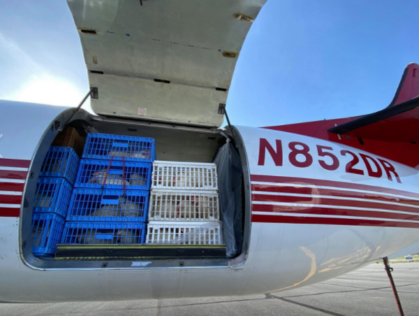 🐔 Hen Heaven: 1000 Chickens Rescued By Plane