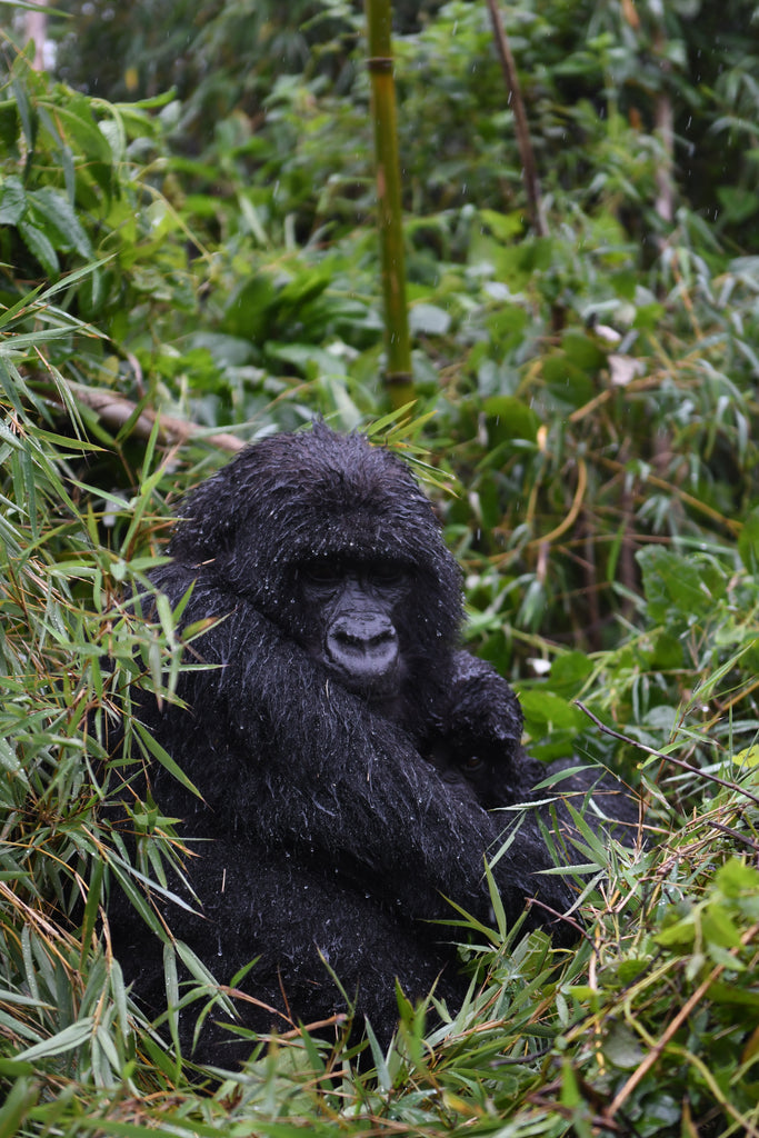 In the footsteps of Dian Fossey