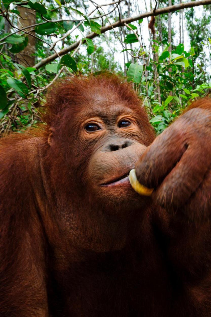 Borneo orangutan: Critically Endangered