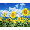 Sunflowers - Paint By Numbers Kit For Adults - Easy Paint By Number Kits for adults- DIY Flowers