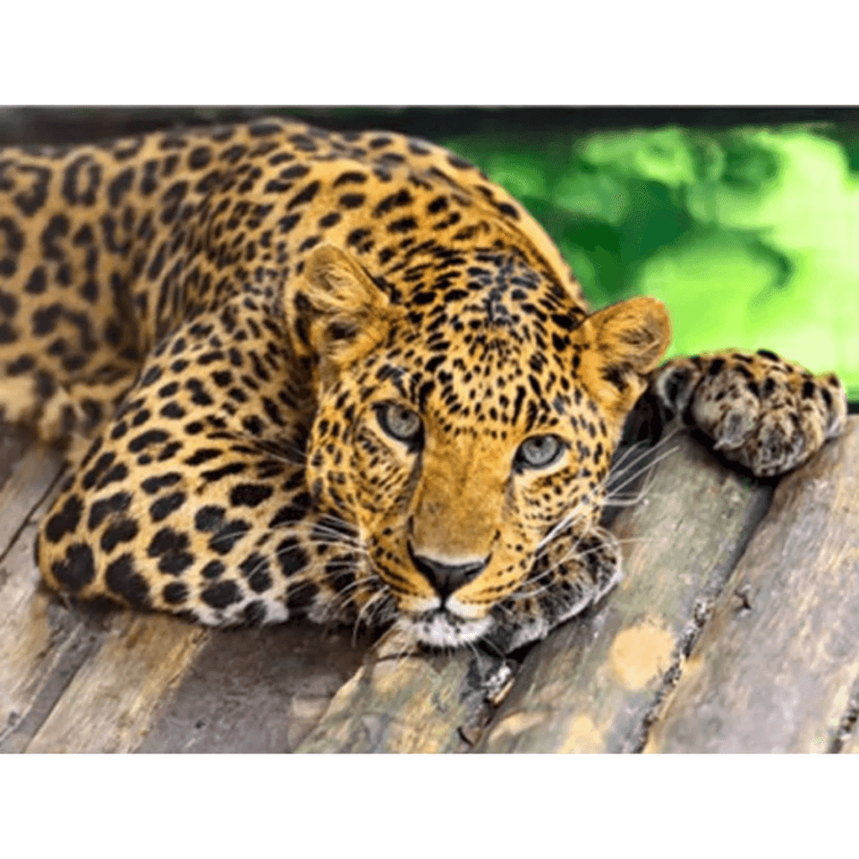 Leopard - Paint By Numbers Kit For Adults - Easy Paint By Number Kits for adults- DIY Animals