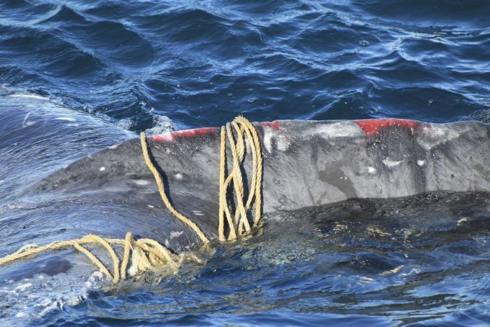 Whale entanglement and deaths continuously rising