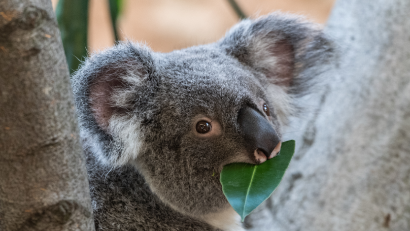 Expert warns Koalas are 'functionally extinct' from the wild