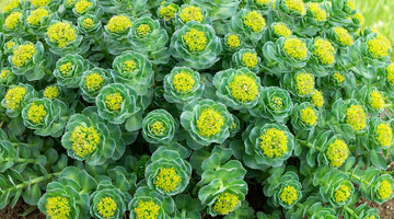 Rhodiola: cool, calm, cognitive bliss