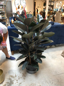 7 Gallon Ficus Bronze-2 stem