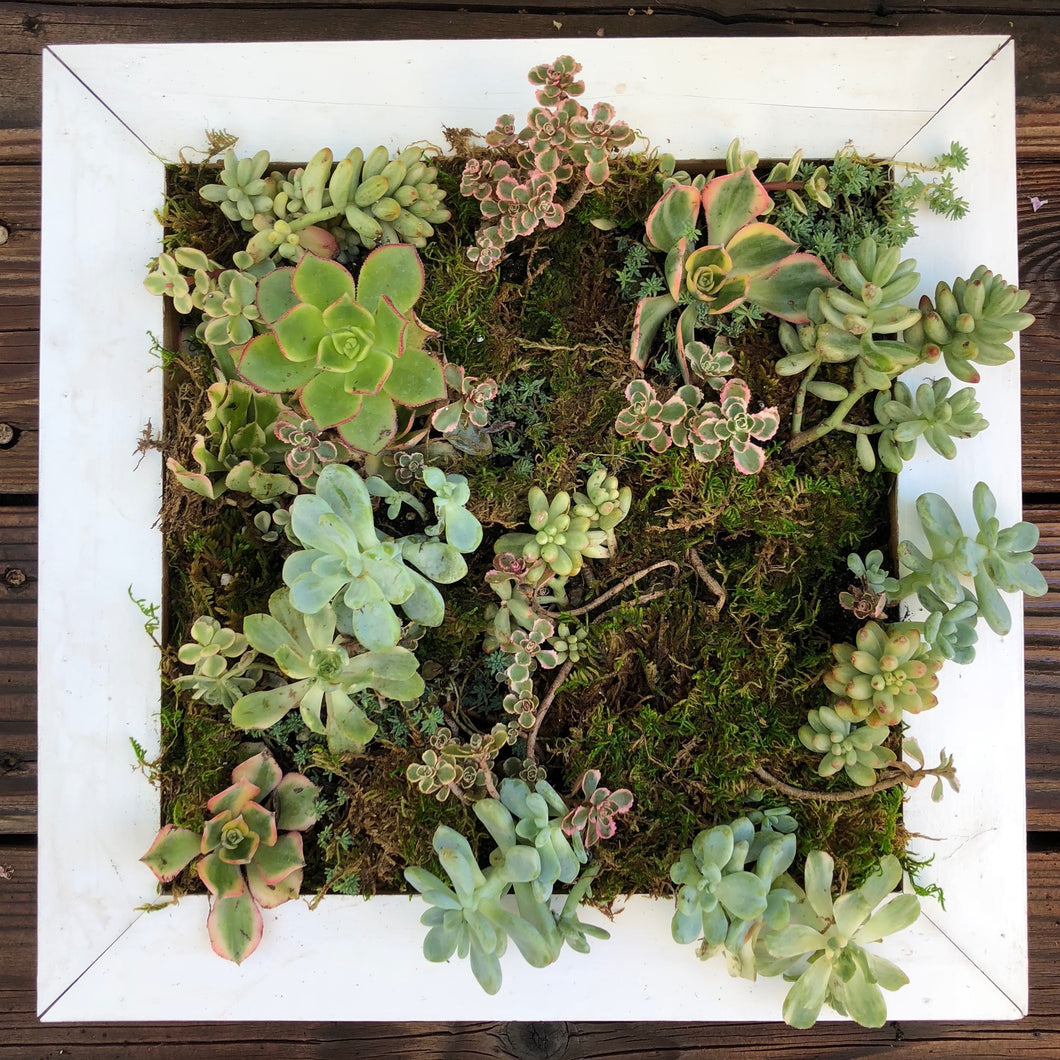 Living Framed Succulent Wall White Square