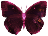 Dark Sakura Butterfly