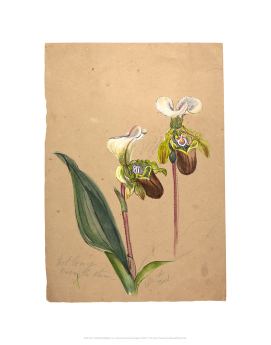 Emily Cole Ladyslipper Orchid Botanical Watercolor 11x14 Print