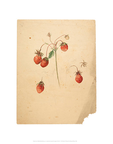 Emily Cole Strawberries Botanical Watercolor 11x14 Print