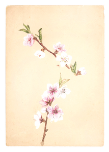 Emily Cole Apple Blossoms Notecard