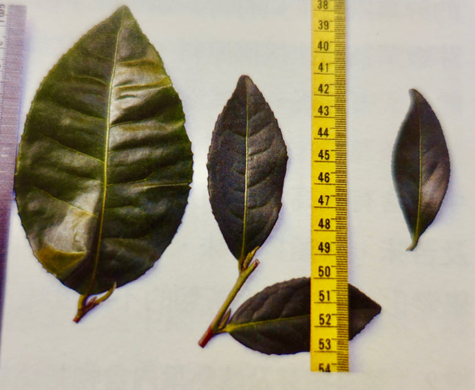 BIG vs. SMALL-LEAF Tea Plant Varieties