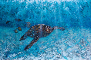 Honu in the Bay