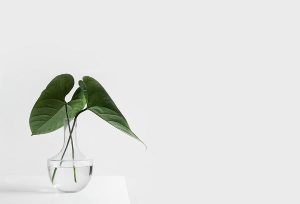 clean botanical scent represented by plant stem in clear vase of water