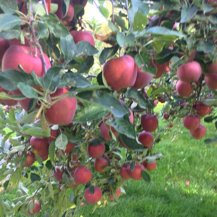Liquid Fertilizer feeds organic apples - picture of organic apples