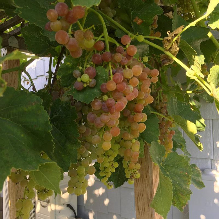 Picture of grapes on a vine - all natural and organic - Dr JimZ Fertilizer