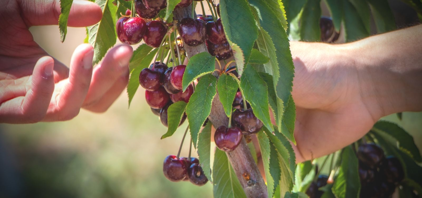 Pick premium Tasmanian cherries with Off the table experiences