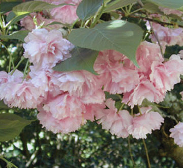 Pink Flowering Cherry Tree