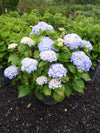 Re-blooming Hydrangea