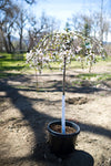 Weeping White Flower Cherry Tree