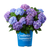BLOOMSTRUCK RE-BLOOMING HYDRANGEA