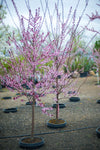 Flowering Red Leaf Plum Tree