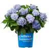 ENDLESS SUMMER RE-BLOOMING HYDRANGEA