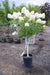 SUPER LIMELIGHT HYDRANGEA TREE WHITE FLOWER
