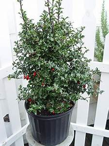 RED BEAUTY HOLLY