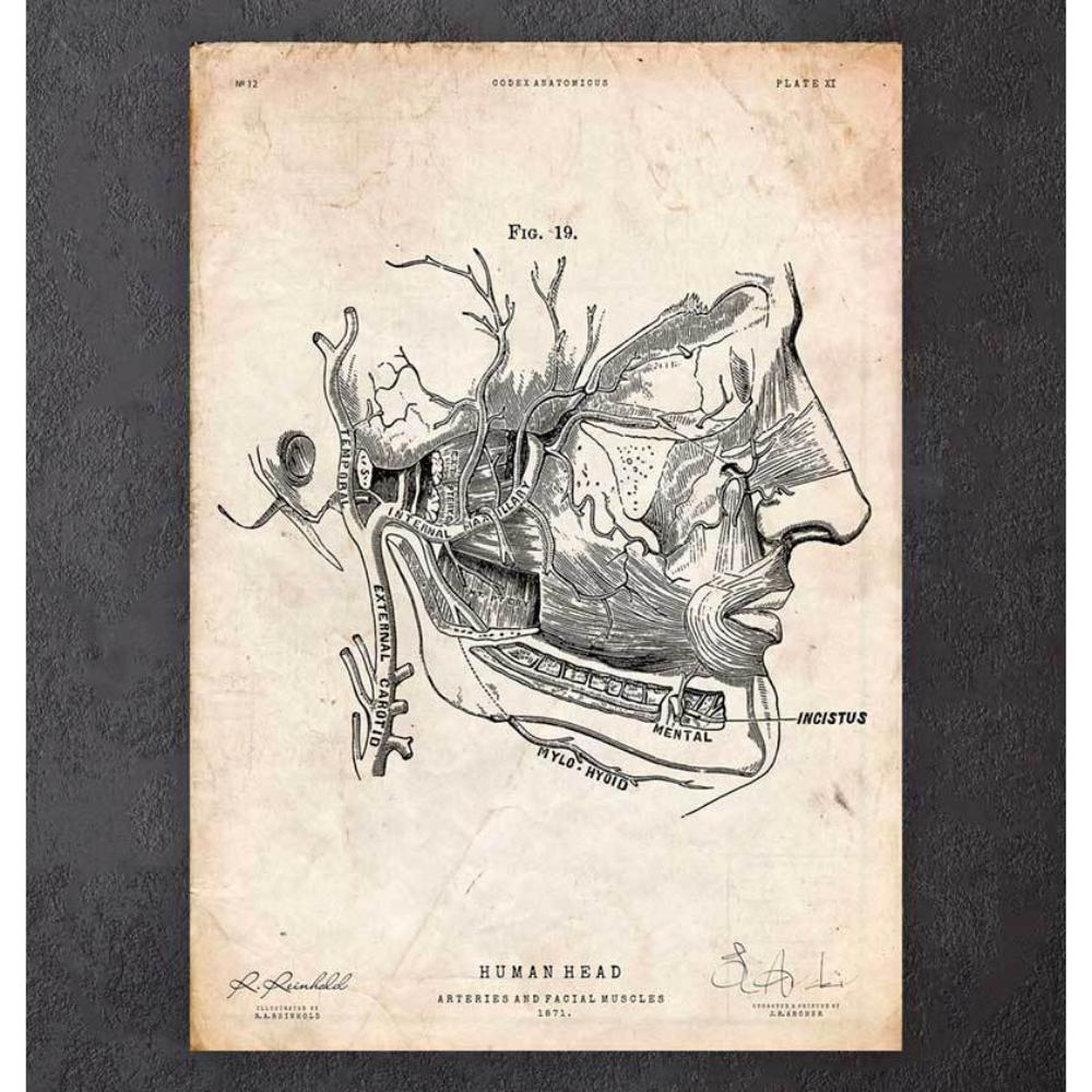 Facial Muscles Anatomy Print