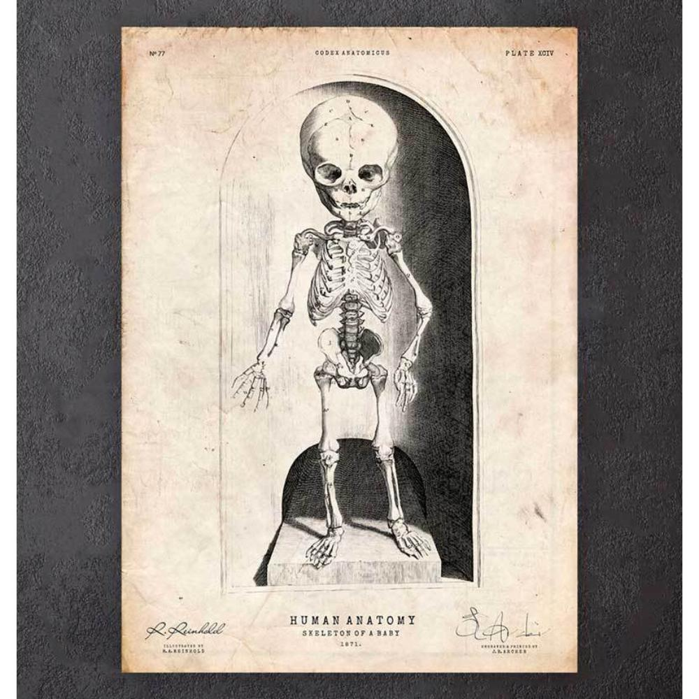 Skeleton Of A Baby Anatomy Print