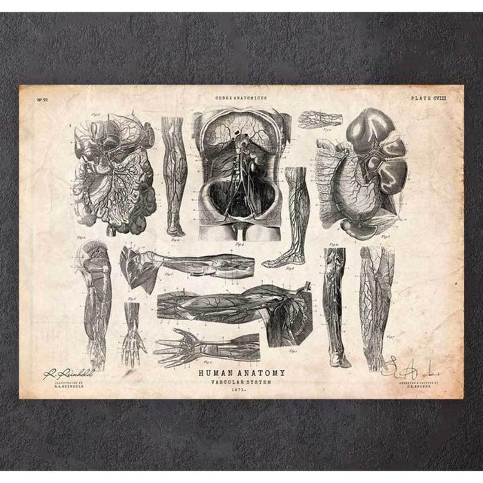 Human Anatomy Print Various Illustrations V