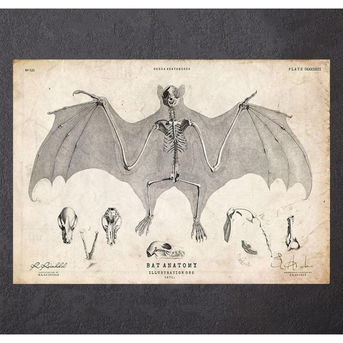 Bat Anatomy