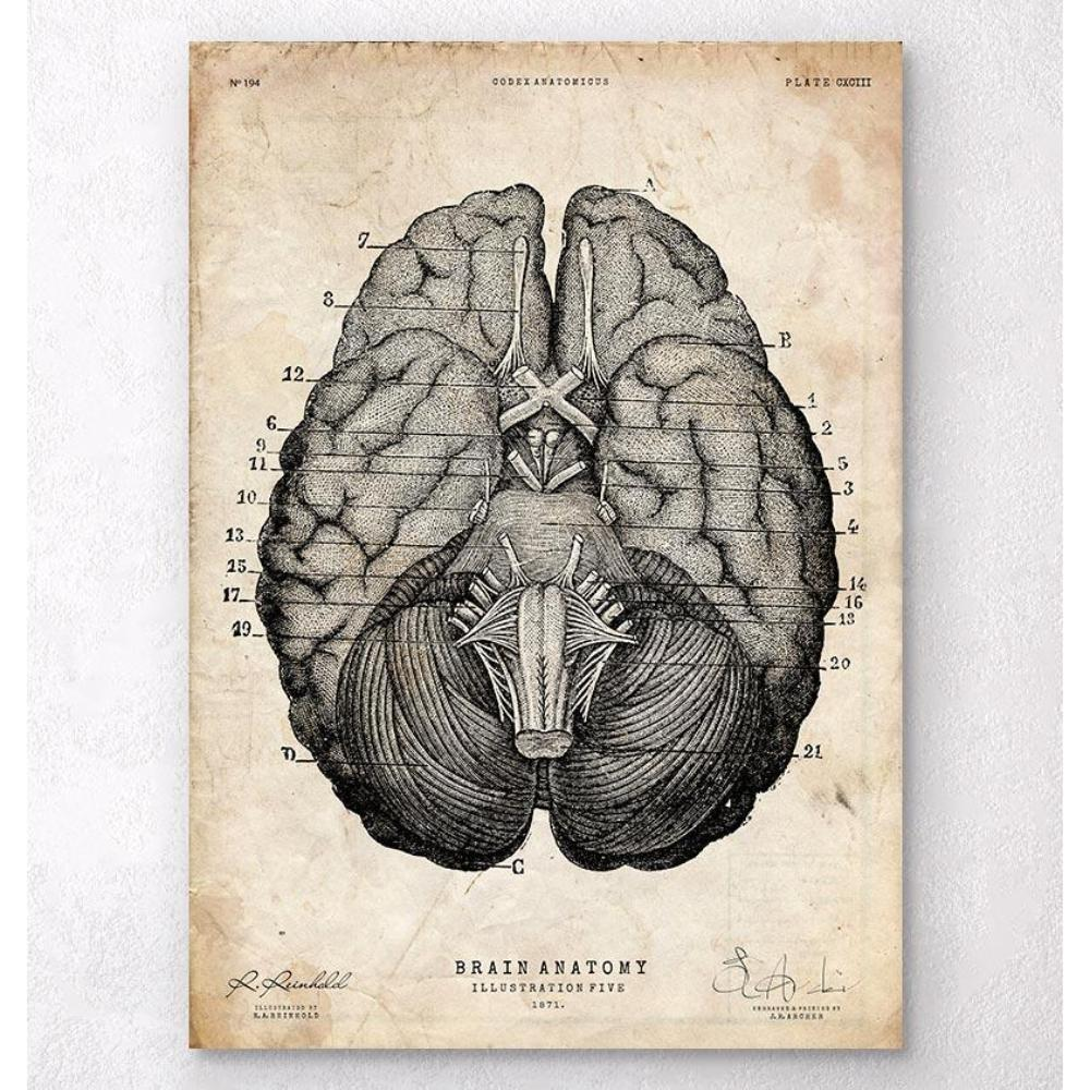 Brain Anatomy Art Print VII