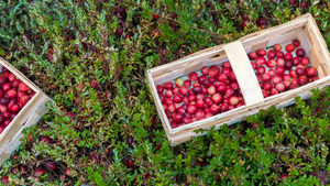 The Surprising & Unique Health Benefits of Cranberries