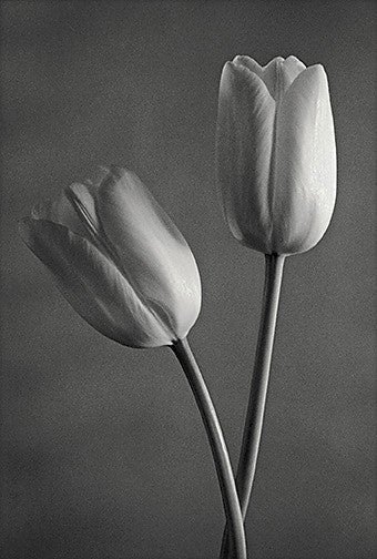 French Tulip black and white photographt John Benigno the print center flowers stems contrast