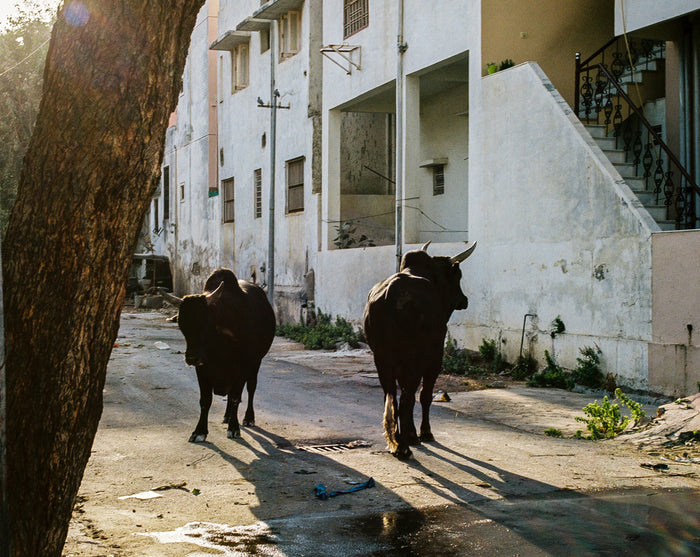 """Horns"" by Saleem Ahmed. An inject print depicting cows standing next to a concrete apartment block. photography, color, cityscapes, urban landscapes, animals. The Print Center"