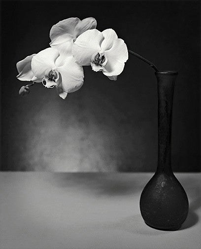 Moth Orchid Archival Print black and white photography john benigno the print center flowers in a vase still life contrast