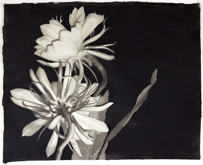 """Untitled"" By Susan Abrams. A Selenium toned silver print on artist made paper. Black and White, Photograph, Nature, Close-up, Flower. The Print Center"