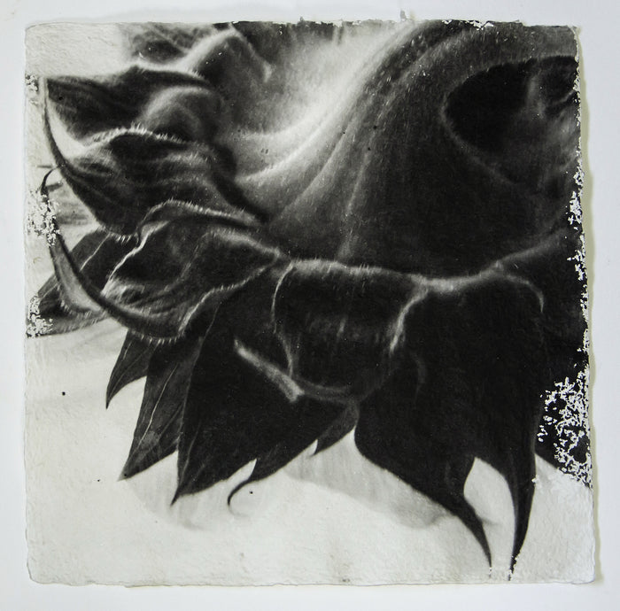 Fierce Bloom Sunflower Susan Abrams Gelatin silver print the print center handmade paper flowers petals black and white abstraction high contrast