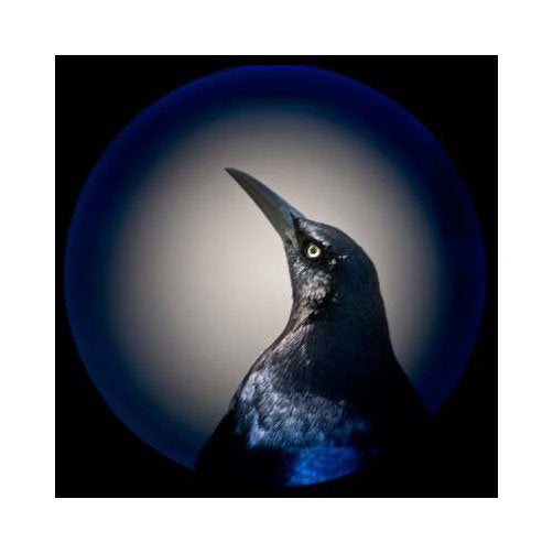 Grackle Jeannie Pearce Inkjet Print bird blue orb beak angry portrait vignette photography the print center