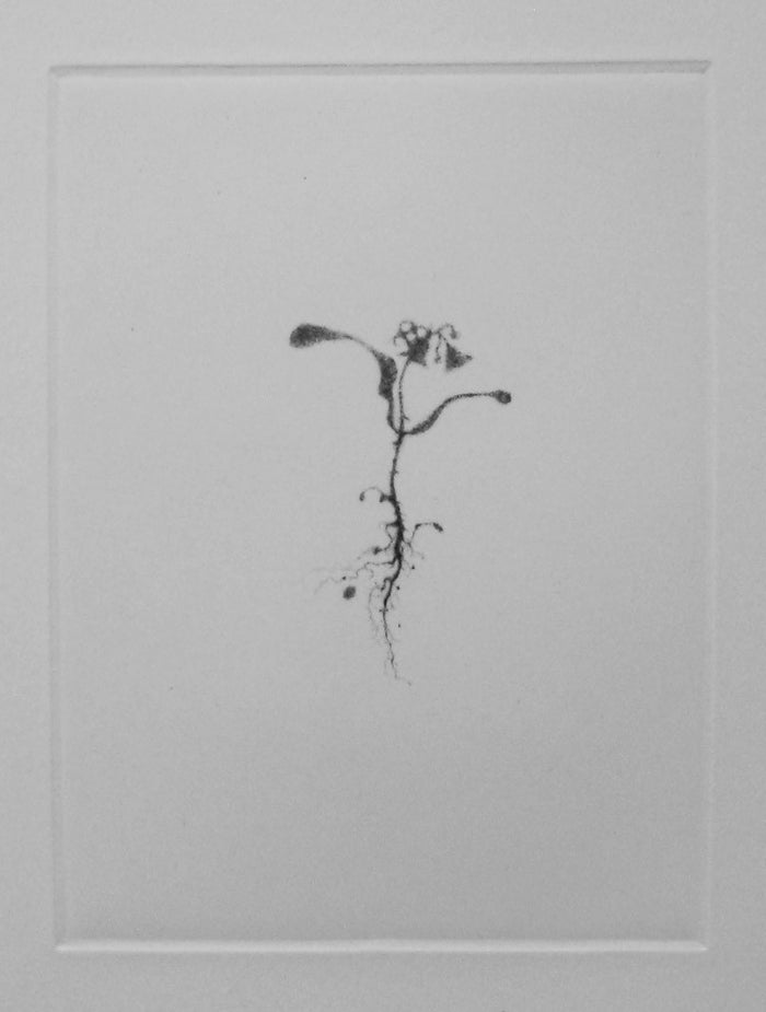 Shadow I Lars Nyberg Intaglio flower weed stem roots portrait figurative nature