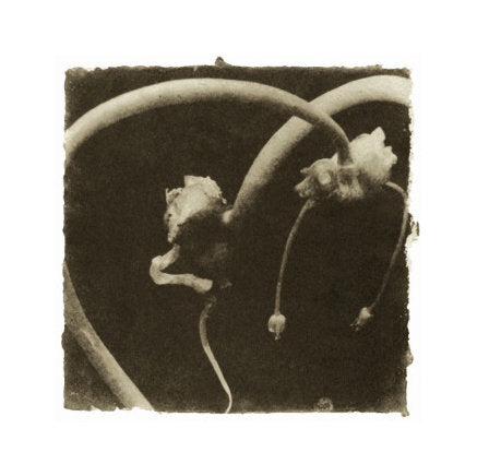 Onion Knot I Susan Abrams Gelatin Silver Print black and white abstraction photography plants nature