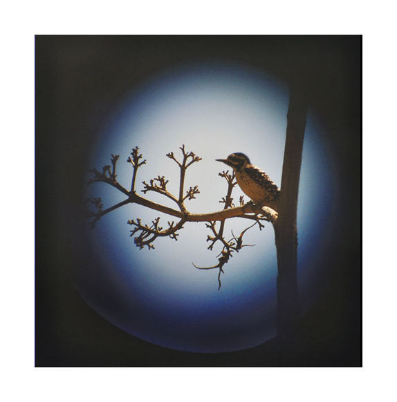 Arizona Woodpecker Inkjet Print Jeannie Pearce Made in Philadelphia Photography Bird Blue Tree Branch