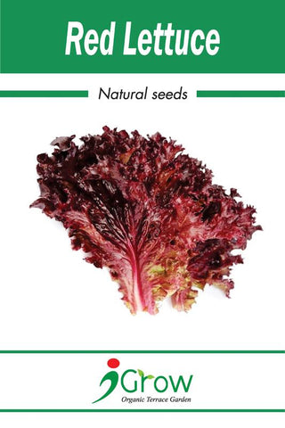 Naturally Treated Organic Red Lettuce Seeds- 50 Seeds Per Pack (Pack of 2 )