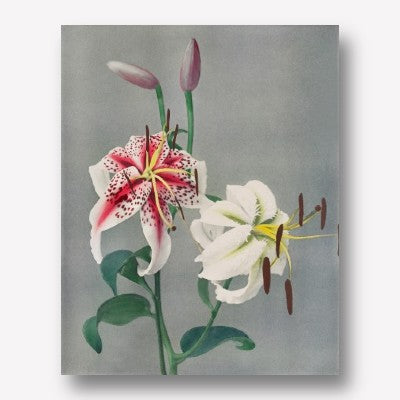 Ogawa Kazumasa - Lily hand–coloured   | Free USA Shipping| www.wallart.biz