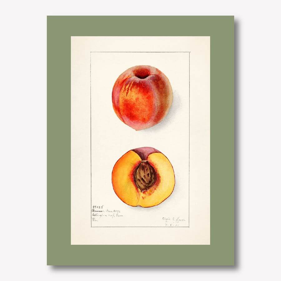 Vintage Peach Watercolor Artwork for Kitchen | FREE USA SHIPPING | www.wallArt.Biz