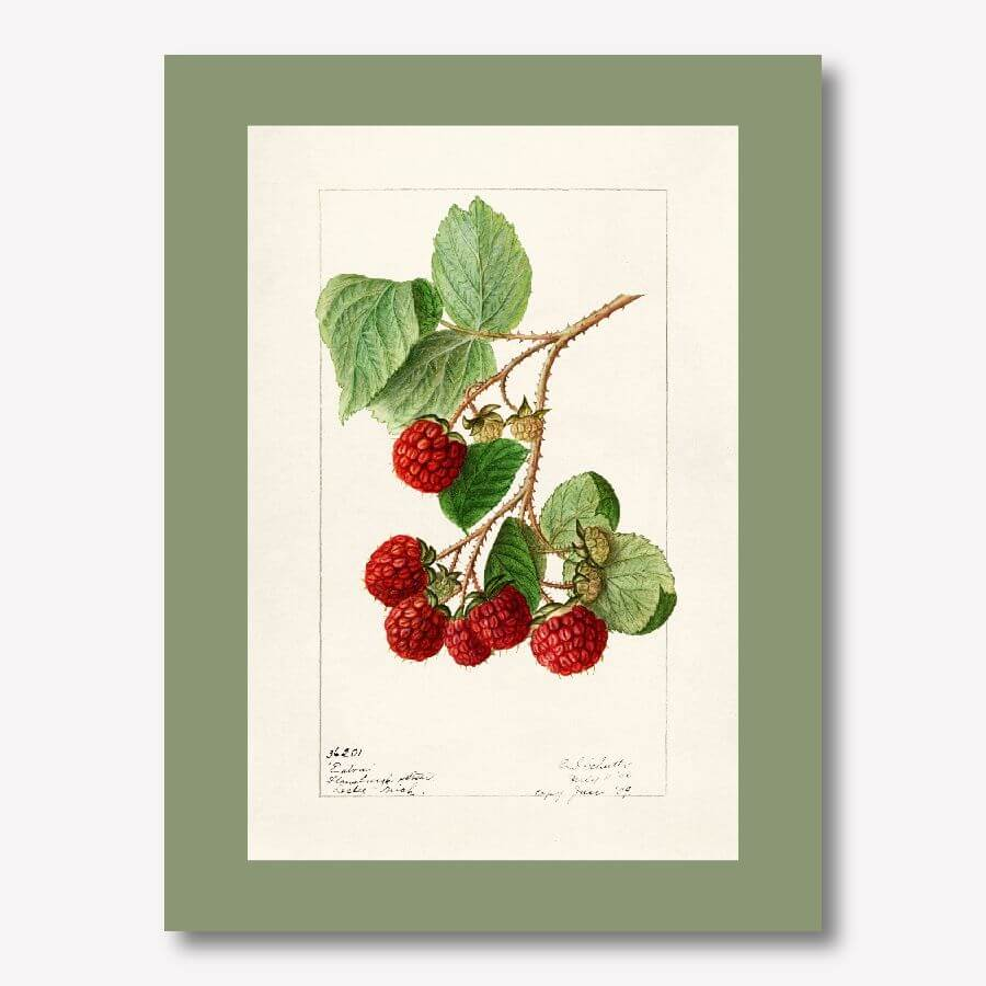 Vintage raspberry Watercolor Fruit Art | FREE USA SHIPPING | www.WallArt.Biz
