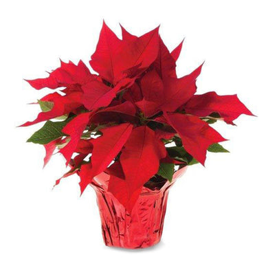 Holiday Poinsettia, 16